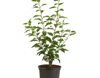 Prunus lusitanica 'Angustifolia'  pot 2 liter 20/25 cm - Portugese laurier