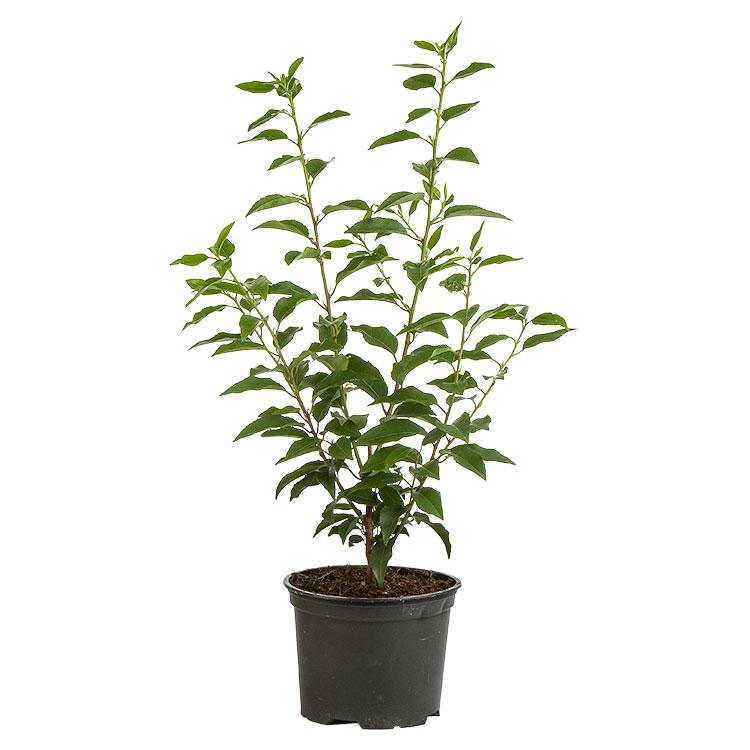 Prunus lusitanica 'Angustifolia' in pot.