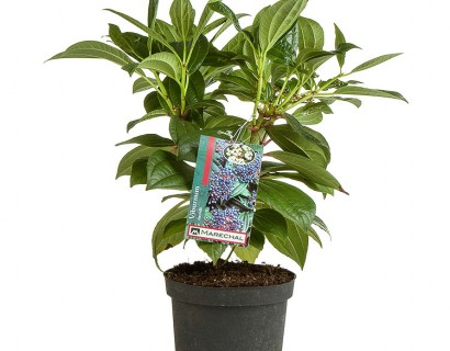 Viburnum davidii c2