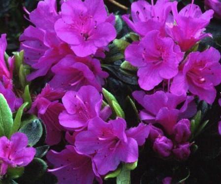 Azalea japonica 'Geisha Purple' - azalea