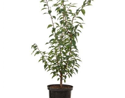 Prunus lusitanica 'Angustifolia' pot 5 liter 60/80 cm