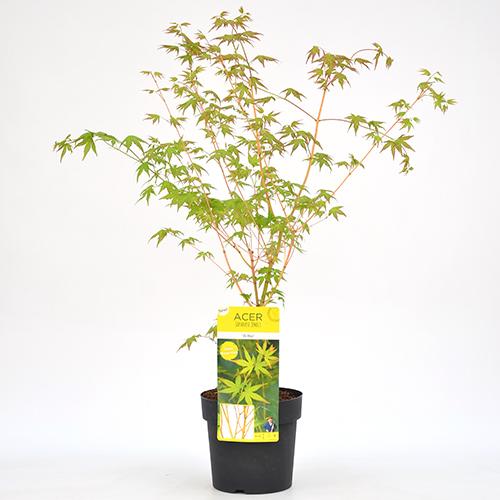 Acer palmatum 'Bi hoo' - japanse esdoorn