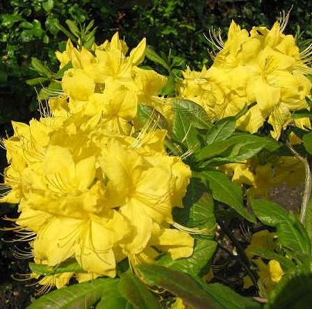 Azalea knaphill 'Anneke' - azalea