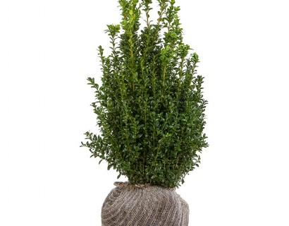 Buxus sempervirens struik 40/60 cm - palm