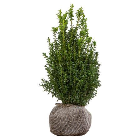 Buxus sempervirens struik 40/60 cm