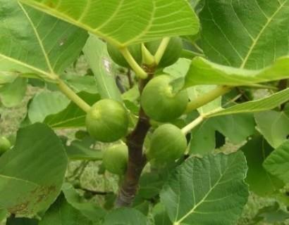 Ficus carica 'Kadota' struik - Vijg