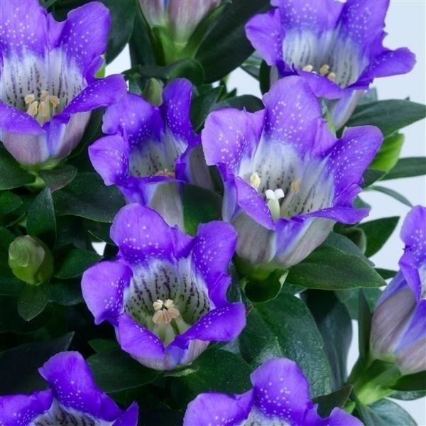 Gentiana 'Blue Heart' grote pot - gentiaan