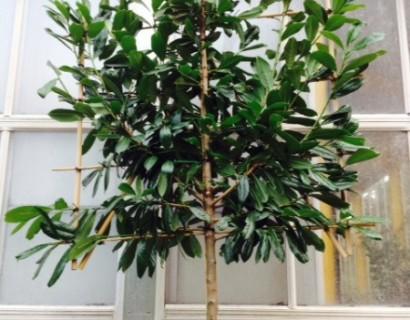 Prunus laurocerasus 'Caucasica' voorgeleid - donkere gewone laurier, paplaurier
