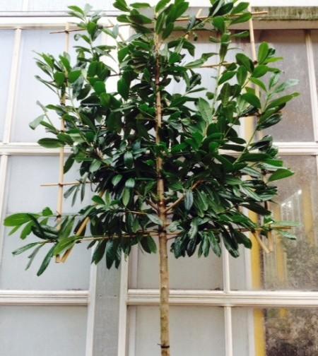 Prunus laurocerasus 'Novita' voorgeleid - donkere gewone laurier, paplaurier