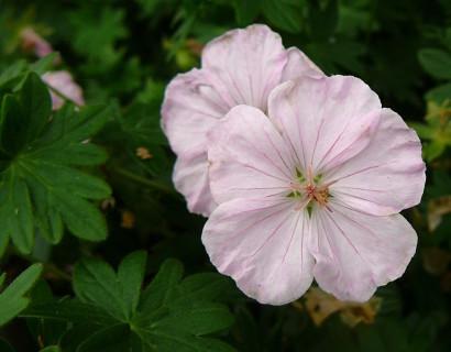 Geranium sanguineum 'Apfelblüte' pot 2 liter - ooievaarsbek
