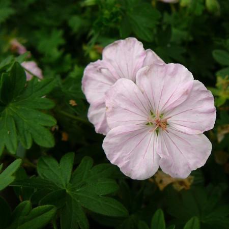 Geranium sanguineum 'Apfelblüte' (grote pot) - ooievaarsbek