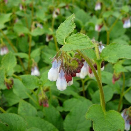 Symphytum grandiflorum 'Hidcote Blue' - smeerwortel