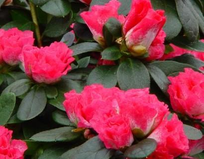 Azalea indica of kamerazalea grote pot - zomerheide, struikheide