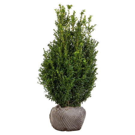 Buxus sempervirens struik 100/125 cm