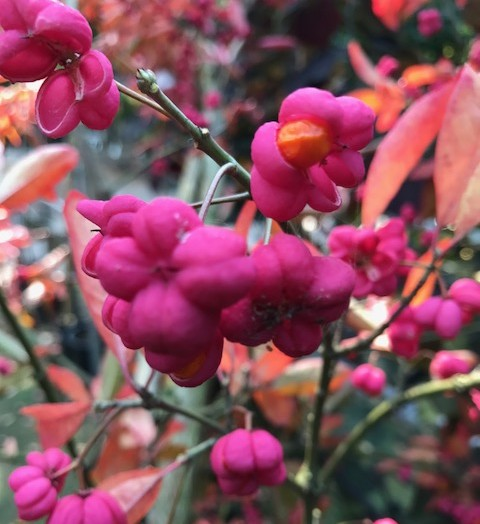 Euonymus europaeus 'Red Cascade' - kardinaalsmuts