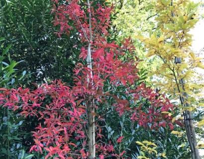 Euonymus europaeus 'Red Cascade' boom - Kardinaalsmuts
