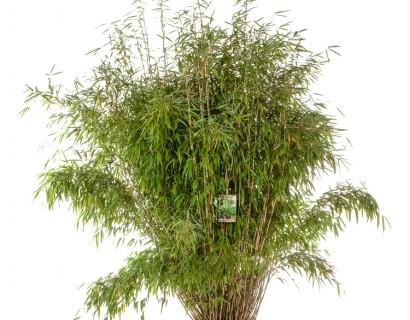 Fargesia murieliae 'Superjumbo' 150/175 cm - bamboe