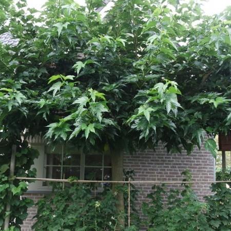 Morus alba 'Platanifolia' om te leiden - moerbei om te leiden