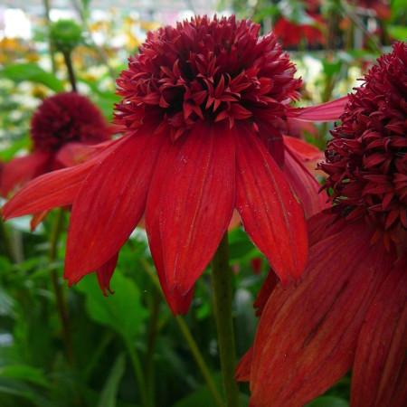 Echinacea 'Eccentric' (grote pot) - Zonnehoed