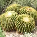 Cactussen, de kamerplanten zonder zorgen. Cereus, Opuntia, Euphorbia, Echinocactus, etc.