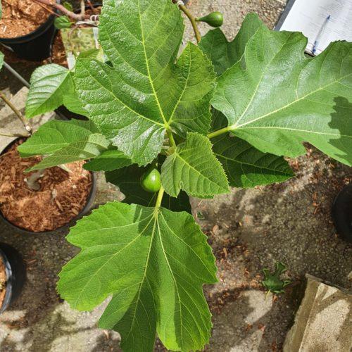 Ficus carica 'Kadota' boom - vijg
