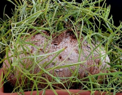 Ipomoea bolusii - hortensia