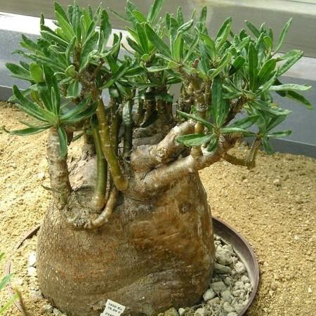 Pachypodium succ. -