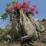 Tropische planten met een caudex, prachtige succulenten.
