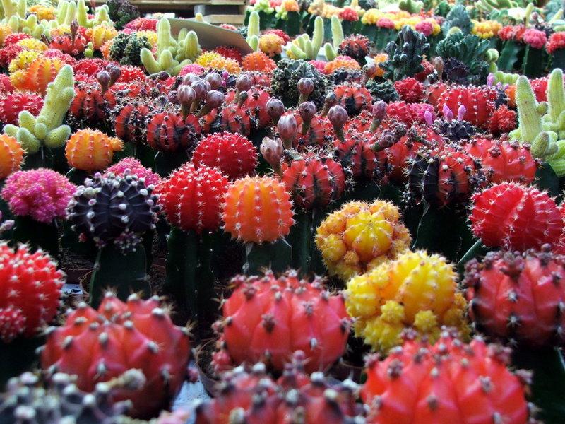 cactus bloeiend