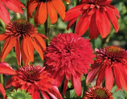 Echinacea in kleuren grote pot - zonnehoed