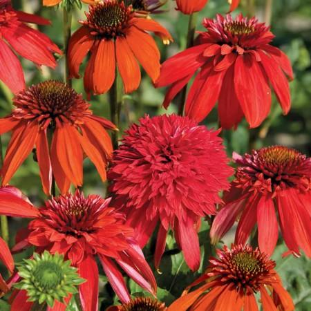 Echinacea in kleuren grote pot