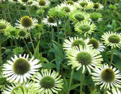 Echinacea 'Green Jewel' pot 3 liter