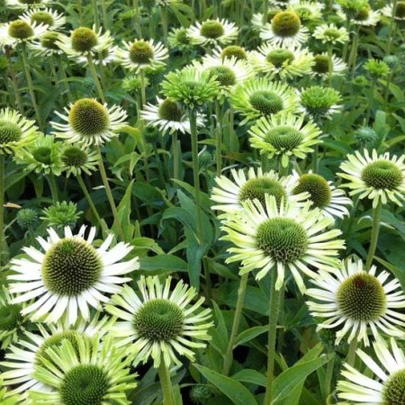 Echinacea 'Green Jewel' (grote pot) - zonnehoed