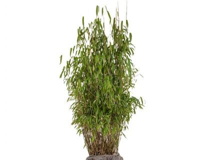 Fargesia murieliae 'Superjumbo' 80/100 cm - bamboe