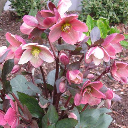 Helleborus 'Pink Frost' - Kerstroos, nieskruid