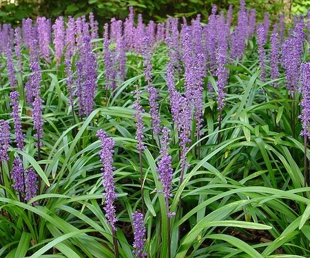 Liriope muscari 'Moneymaker' pot 2 liter