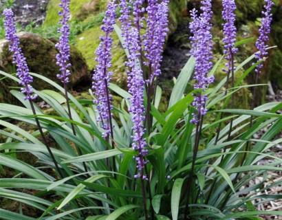 Liriope muscari 'Royal Purple' pot 2 liter - Leliegras