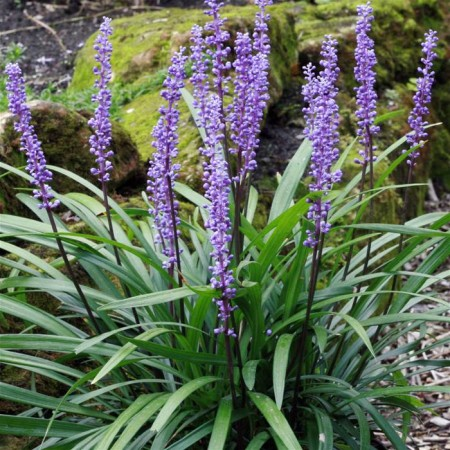 Liriope muscari 'Royal Purple' pot 2 liter