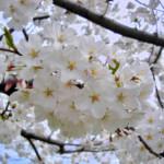 Hoe plant ik bomen met bloemen? Hoe kies ik een boom met bloemen?