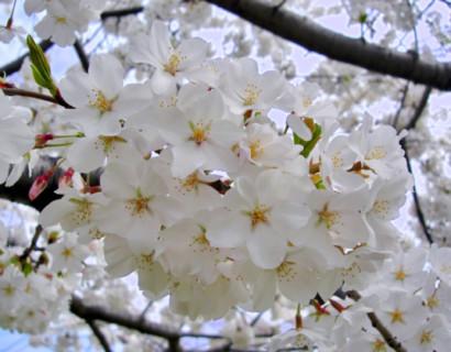 Prunus yedoensis - Japanse sierkers