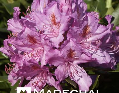 Rhododendron ponticum pot 15 liter 80 cm - wilde rhododendron