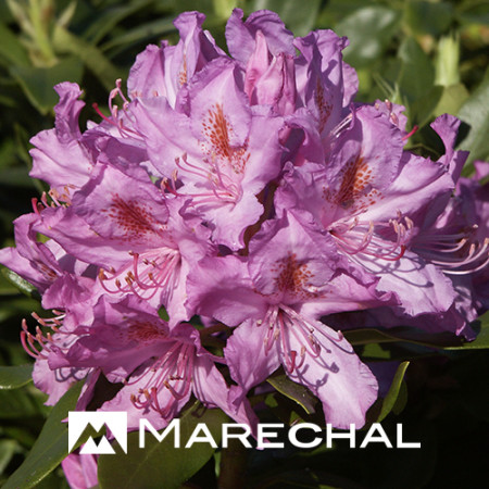 Rhododendron ponticum pot 15 liter 80 cm