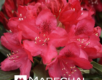 Rhododendron 'Nova Zembla' pot 4 liter - rhododendron