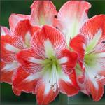Amaryllis of Hippeastrum geeft kleur in huis in de winter.