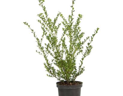 Ilex crenata 'Green Hedge' pot 2 liter 25/30 cm - Japanse hulst