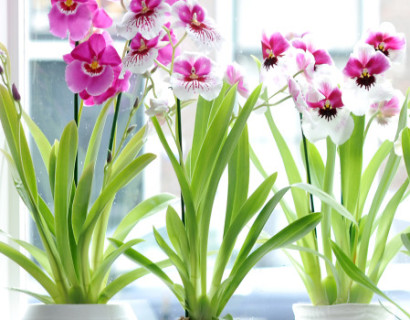 Miltonia - Orchidee