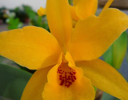 Cattleya - Orchidee