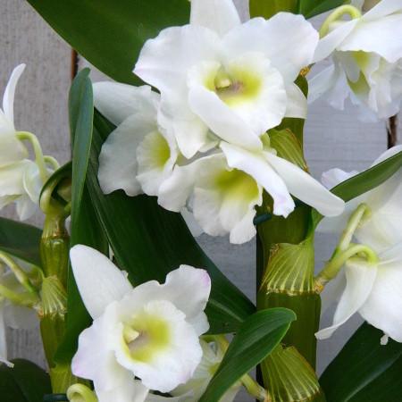 Dendrobium nobile - Orchidee