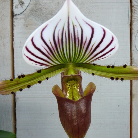 Paphiopedillum - Orchidee