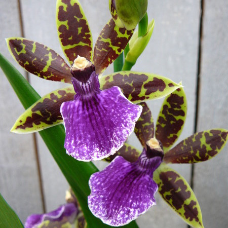 Zygopetalum - Orchidee